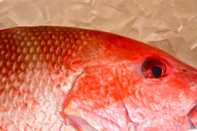 Fresh red snapper: perfect for your next Cajun recipe.